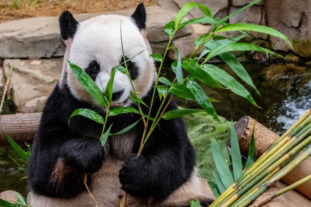 ciekawostki o Chinach - pandy